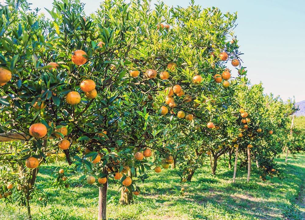 citrus-producers-mpumalanga